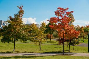 赤く色づいた秋のアカナラの木の写真素材 [FYI03152776]