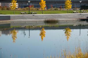 池の水面に映る色づいたイチョウの木の写真素材 [FYI03152782]