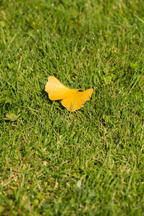 緑の芝生の上のイチョウの落ち葉の写真素材 [FYI03152788]