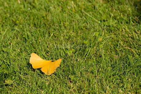 緑の芝生の上のイチョウの落ち葉の写真素材 [FYI03152789]