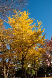 色づいたイチョウの木と青空の写真素材 [FYI03152793]
