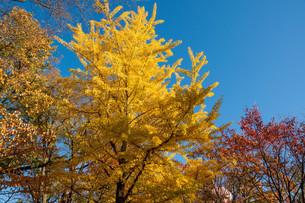 色づいたイチョウの木と青空の写真素材 [FYI03152794]
