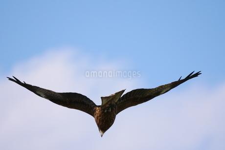 頭上を飛ぶトビの写真素材 [FYI03152821]