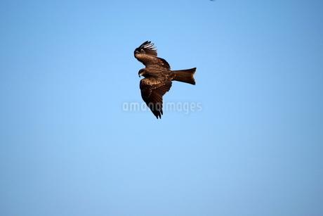 青空を飛ぶトビの写真素材 [FYI03152823]