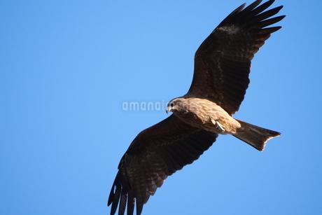 青空を飛ぶトビの写真素材 [FYI03152825]