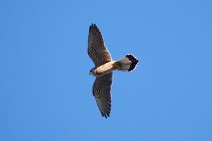 青空を飛ぶハヤブサの写真素材 [FYI03152829]