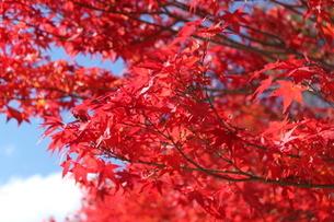 真っ赤な紅葉の写真素材 [FYI03152857]