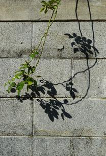 ブロック塀の植物と影の写真素材 [FYI03152872]