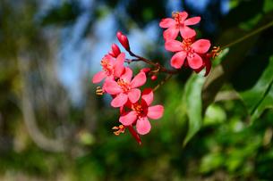 沖縄の赤いテイキンザクラの花の写真素材 [FYI03152874]