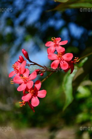沖縄の赤いテイキンザクラの花の写真素材 [FYI03152875]