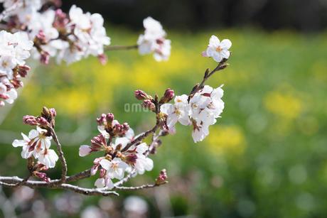 桜の写真素材 [FYI03152911]