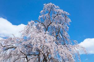 しだれ桜の写真素材 [FYI03152919]