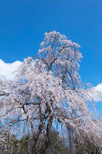 しだれ桜の写真素材 [FYI03152920]
