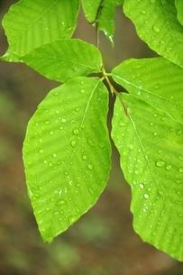 ブナの葉の写真素材 [FYI03152925]