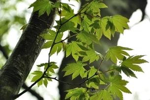 イロハモミジの葉の写真素材 [FYI03152932]