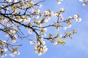 丹沢主脈に咲くマメザクラの花の写真素材 [FYI03152978]