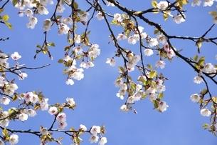 丹沢主脈に咲くマメザクラの花の写真素材 [FYI03152979]