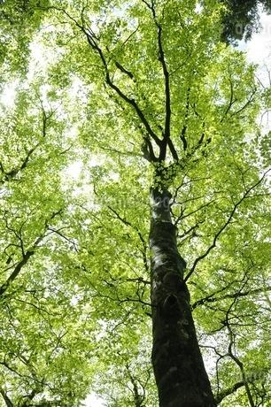 ブナの新緑の写真素材 [FYI03153024]