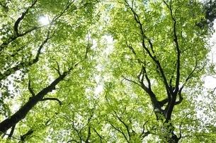 ブナの新緑の写真素材 [FYI03153026]