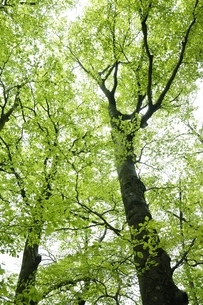 ブナの新緑の写真素材 [FYI03153027]