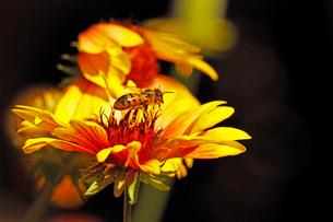 蜜を吸い終わり花から飛び立とうとするミツバチの写真素材 [FYI03153129]