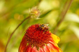 花に上で花粉まみれになって蜜を吸うミツバチの写真素材 [FYI03153132]