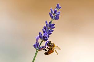 ラベンダーの小さな花の蜜を吸うミツバチの写真素材 [FYI03153135]