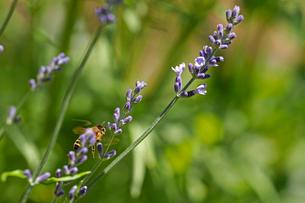 ラベンダーの花の間をぬって飛んでいる蜜蜂の写真素材 [FYI03153136]