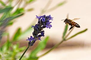 ラベンダーの花にとまろうとしているミツバチの写真素材 [FYI03153137]