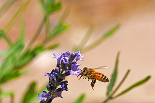 紫の小さなラベンダーの花と蜜蜂の風景の写真素材 [FYI03153143]