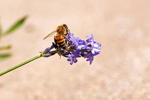 紫のラベンダーの花にとまっている蜜蜂の風景の写真素材 [FYI03153145]