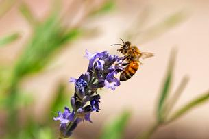 紫のラベンダーの花にとまっている蜜蜂の風景の写真素材 [FYI03153146]