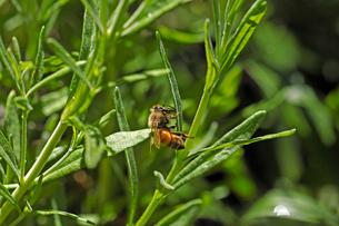 ラベンダーの葉にしがみつくミツバチの写真素材 [FYI03153159]