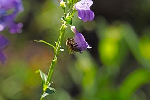 紫の花にとまっている蜜蜂の写真素材 [FYI03153161]