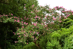 百日紅の木の写真素材 [FYI03153257]