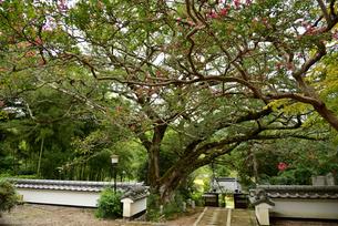 百日紅の巨木の写真素材 [FYI03153258]