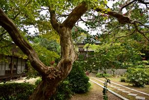 百日紅の木の写真素材 [FYI03153262]