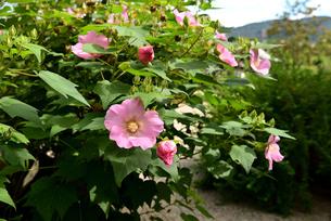 芙蓉の花の写真素材 [FYI03153271]