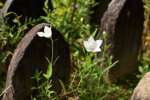 桔梗の花と石仏の写真素材 [FYI03153275]
