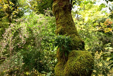苔むす古木と萩の花の写真素材 [FYI03153281]