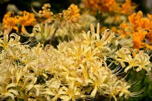 白と黄色の彼岸花の写真素材 [FYI03153284]