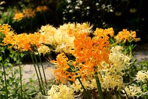 白と黄色の彼岸花の写真素材 [FYI03153286]