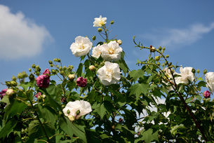酔芙蓉の花の写真素材 [FYI03153287]