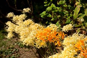 黄色と白の彼岸花の写真素材 [FYI03153288]