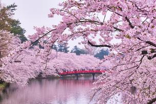 桜 弘前公園 日本 青森県 弘前市の写真素材 [FYI03153365]