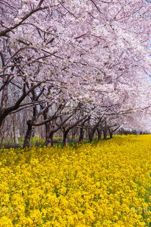 菜の花ロード 日本 秋田県 大潟村の写真素材 [FYI03153375]