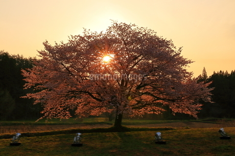 赤渕の一本桜 日本 岩手県 岩手郡の写真素材 [FYI03153390]