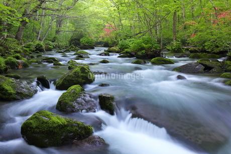 奥入瀬渓流(Oirase River) 日本 青森県 十和田市の写真素材 [FYI03153392]