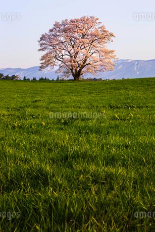 小岩井農場の一本桜 日本 岩手県 雫石町の写真素材 [FYI03153409]