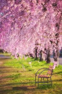 日中線の枝垂れ桜 日本 福島県 喜多方市の写真素材 [FYI03153423]